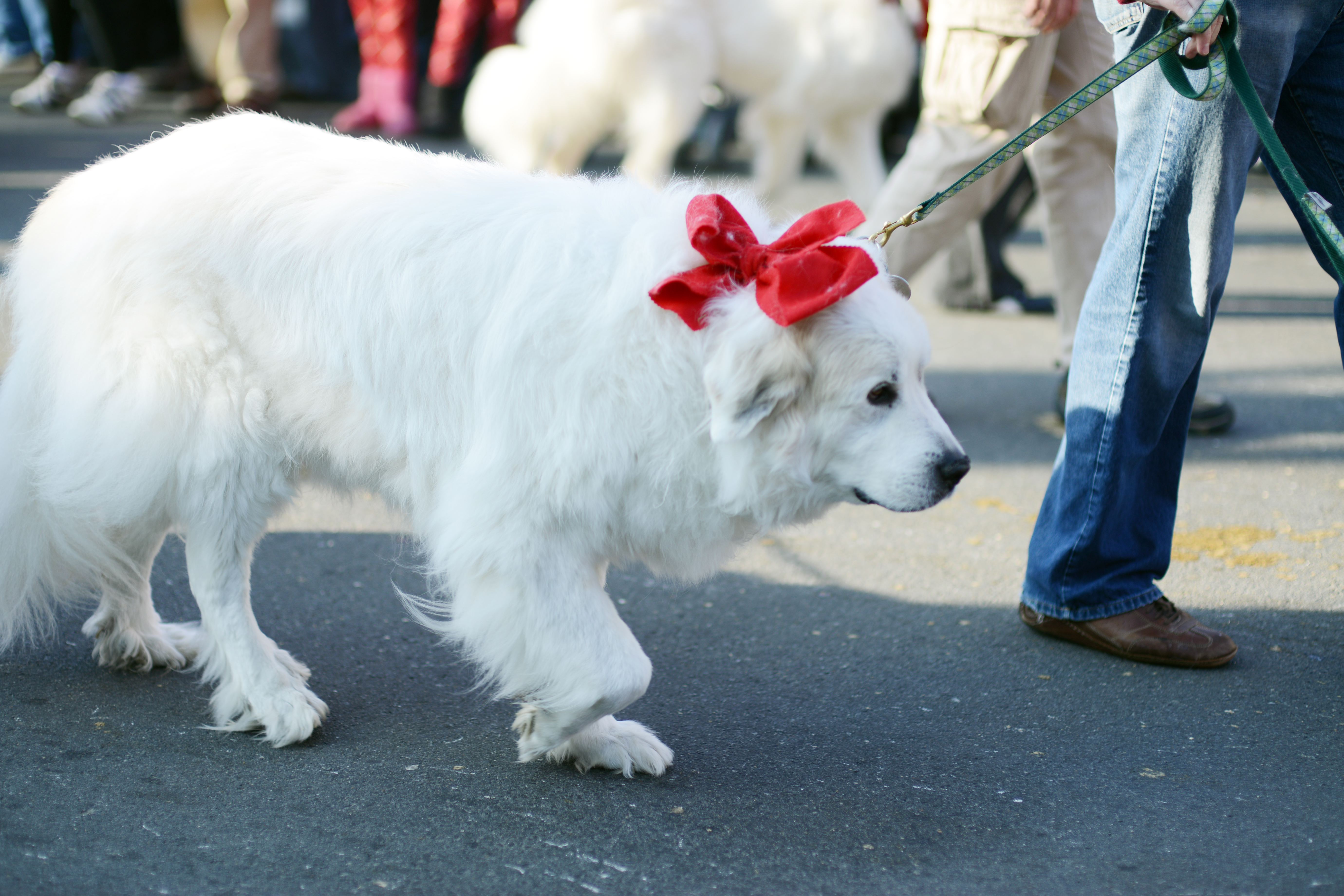 christmas in middleburg great pyrenees rescue
