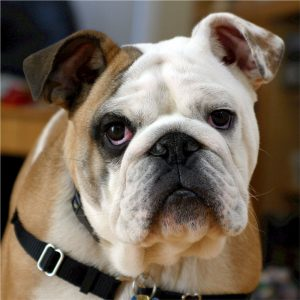 english-bulldog-bulldog-canine-dog-40544