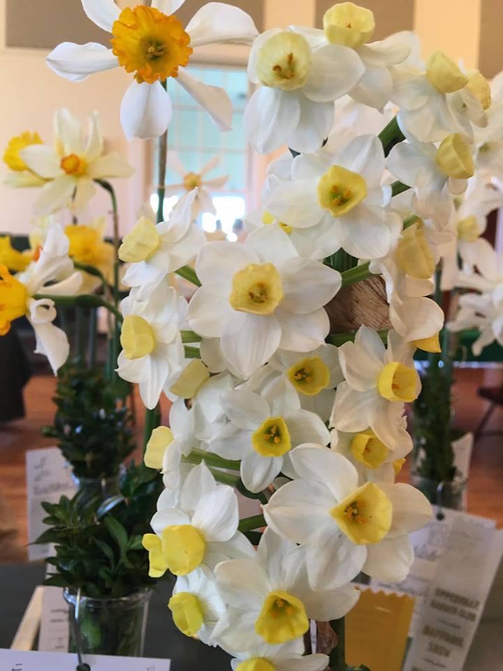Upperville Garden Club Daffodil Show Buchanan Hall