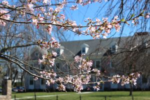 Foxcroft School Middleburg VA Cherry Blossoms