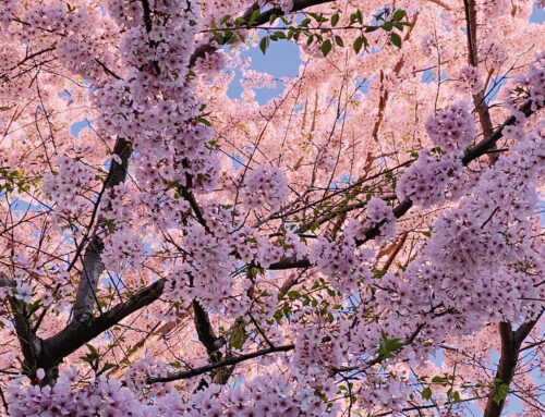 Middleburg Cherry Blossom Trail: April 3-24